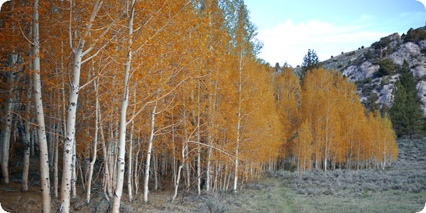 Aspens near Gull Lake